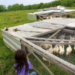 Pastured chickens at Polyface farms