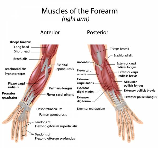muscles of the forearm - 3