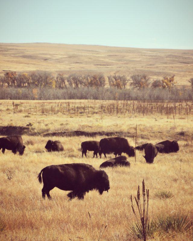 Bison grazing at West Bijou Ranch in Strasburg, Colorado